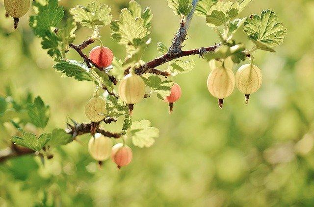 Früchte von ästen befreien